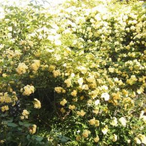 庭を染める黄木香バラ