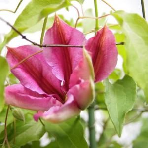 可憐に咲くクレマチス