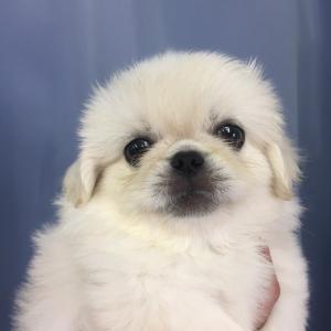 【ブリーダー販売】 ペキニーズの子犬 男の子