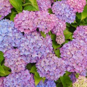 紫陽花めぐりー1