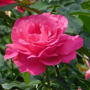 2020鶴舞の薔薇その6(5月)