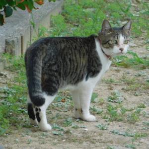 近所の飼い猫0916