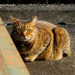 近所の飼い猫1027
