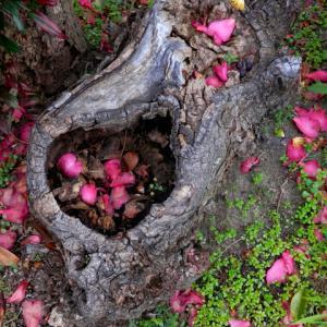 木のウロに山茶花