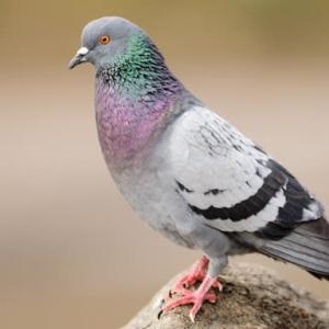 Vol. 1167 世界の珍しく美しい鳩たち!