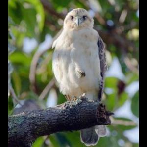 ハワイの白い鷹