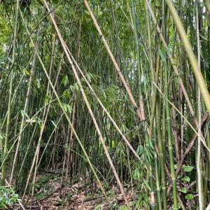 ハワイ島でも竹の子