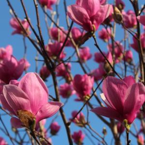 木蓮が満開の日に・・・悼む