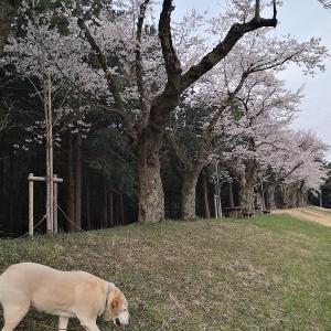 桜を求めていろいろと