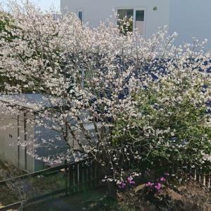 わが家の桜も満開に・・・