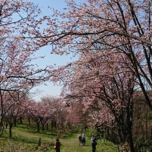 美唄・東明公園の桜見・・・