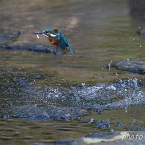 大増水の後 カワセミ健在