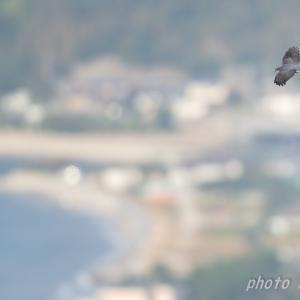 秋の渡り ハイタカ  撮影日:10月22日