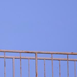 ヤマセミ 撮影日:11月01日