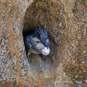 営巣報告3 ヤマセミは卵殻を遠くへ運ぶ