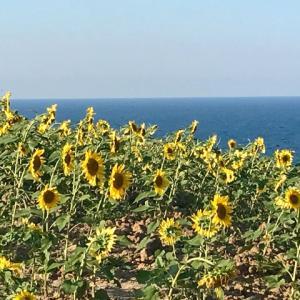 ヒマワリの種蒔き。黒海沿岸のヒマワリ畑を目指す