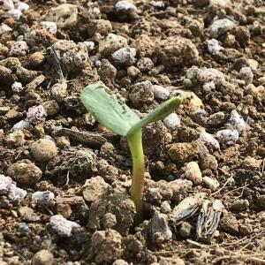 ヒマワリ、種を蒔いてわずか3日で発芽!