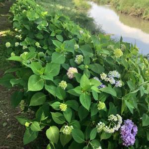 晩春の新河岸川、アジサイが開花