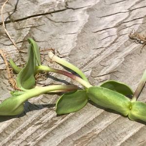 1週間前に種を蒔いたヒマワリ。初めての間引きをした