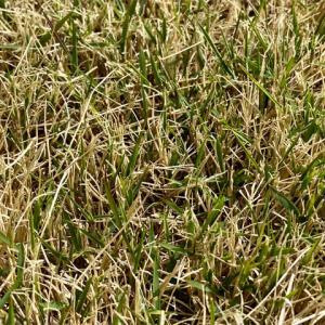 芝生に除草剤を撒いて2週間、効果を写真で比較