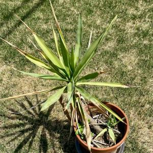 鉢植えのユッカ(青年の木)を花壇に植え替え