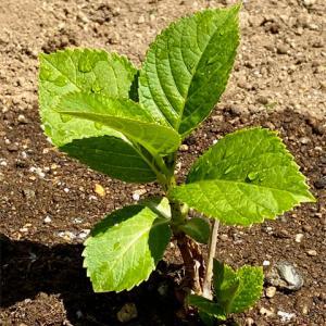 アジサイ、根元から「弟分」が芽を出した