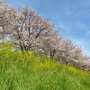 2021年春、新河岸川・蓮光寺付近の桜並木の記録