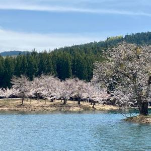 中子の桜(新潟県津南町)・2021年春の訪問