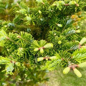 新緑のモミの木、枯れた枝を剪定