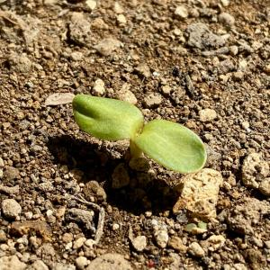 2021年は「モネのひまわり」の種を蒔き、5日後に発芽