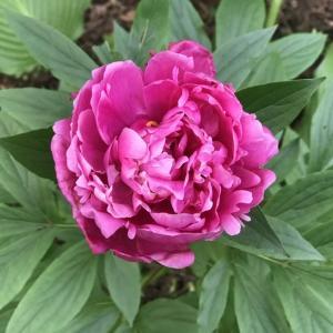 シャクヤクが次々に開花しています