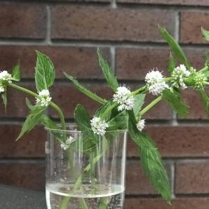 シソ科の花が次々に開花しています