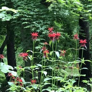 今朝のハーブガーデンで咲いている花とヤマアジサイ