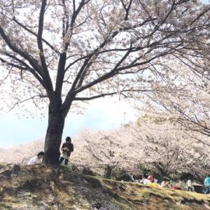 行けたぁー桜