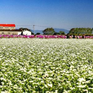 蕎麦の花と秋桜と