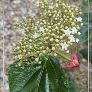 No.037 Viburnum japonicum