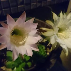 サボテンの花がひらく