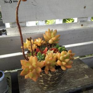 盆栽風黄麗がオレンジ色に紅葉と寄せ植えと金属アレルギー