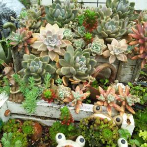 雨が上がって、地植多肉花壇の様子&メッキアレルギーの私耳飾り完成