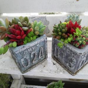 プレゼントに多肉ミニ鉢作る&地植え多肉花壇に興味の人