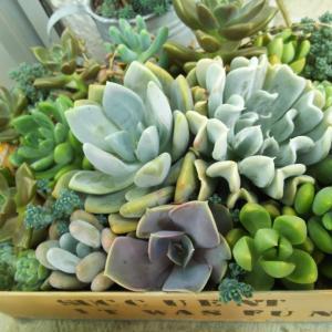お気に入り3鉢の寄せ植え&金具なしで耳飾り完成