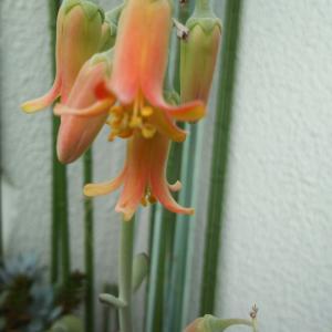 福娘の花がやっと咲いたレース糸でマスクバンド完成