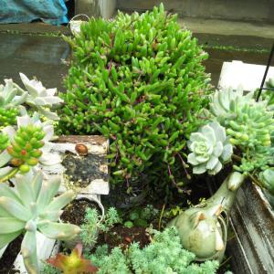 多肉花壇でセンペルの花が&レース糸で金具無しマスクアクセサリー作る
