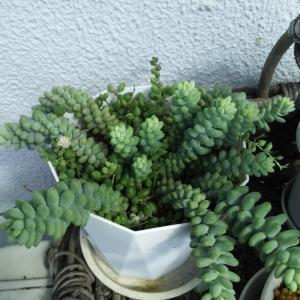 ビアホップ肥料無しから肥料有りの現在&緑色のネックレス