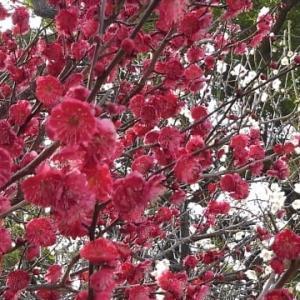 散歩道ー梅花と河津桜