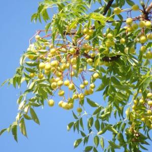 センダン(栴檀)の果実