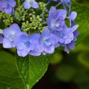 雨の日の紫陽花&ワクチン接種