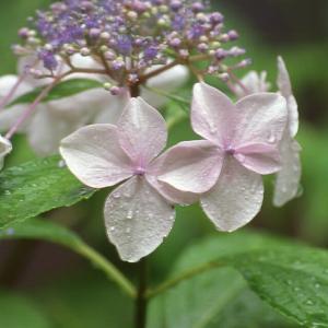 「6月の4枚」 紫陽花様々