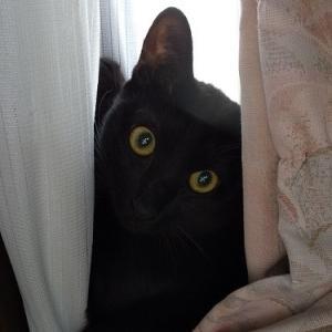 来客に怯え、カーテンに隠れるしじみ・・・