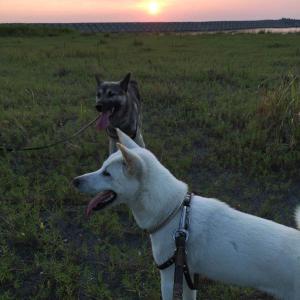 マレンマ・シープドッグと紀州犬